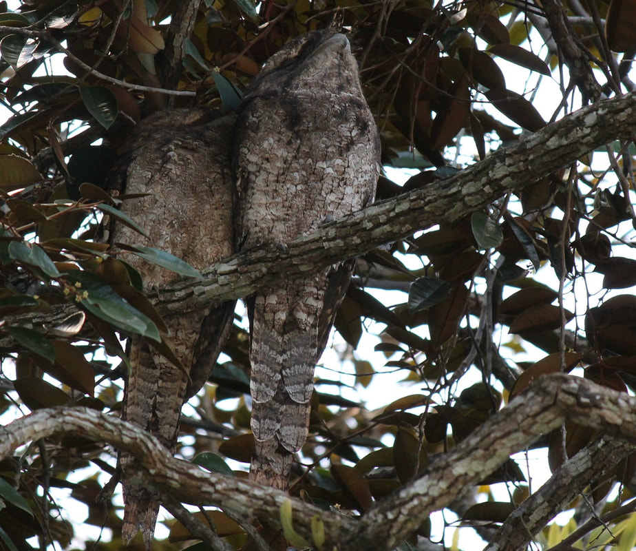Papuan Frogmouths