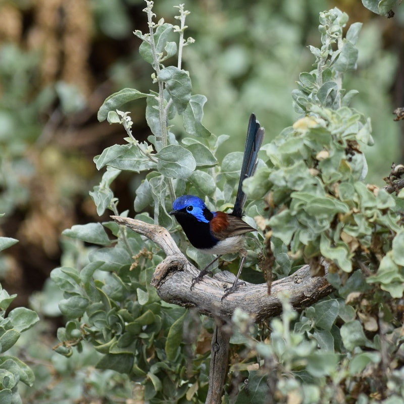 Purple-backed Fairy-wren